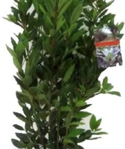Laurus Nobilis Struik Medium in TerraCotta